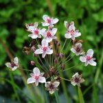 Roselière_Butomus umbellatus
